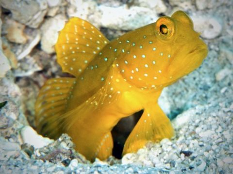 Yellow prawn-goby、ギンガハゼ