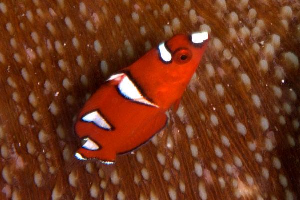 ツユベラの幼魚