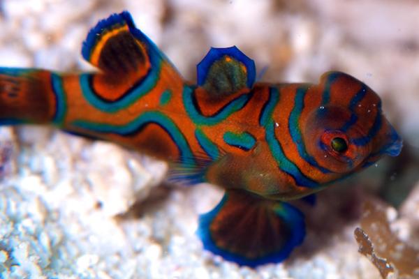ニシキテグリの幼魚