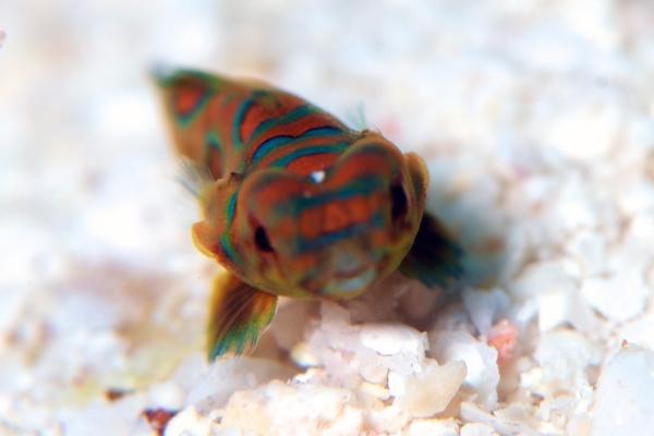 ニシキテグリの幼魚2-1