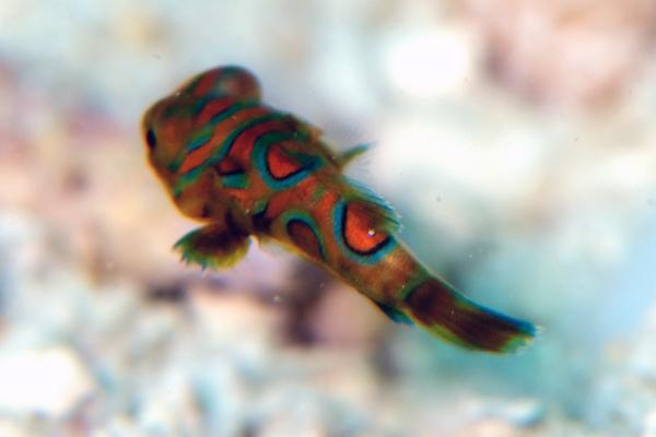 ニシキテグリの幼魚2-2