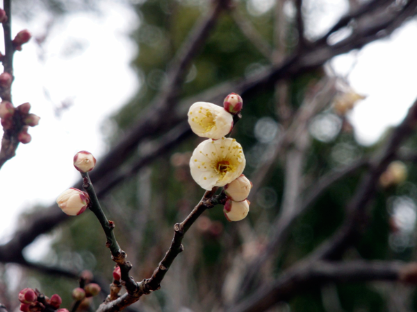 太宰府の梅の花