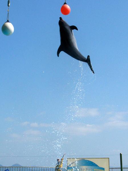 バンドウイルカのハイジャンプ