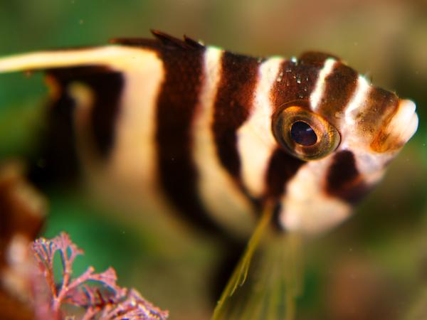 ミギマキの幼魚