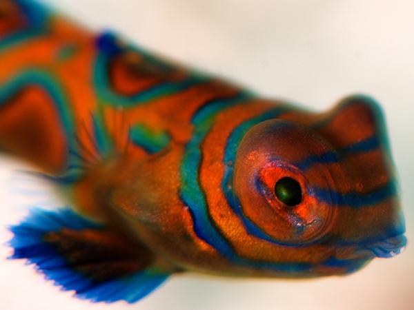 ニシキテグリの幼魚(15mm)