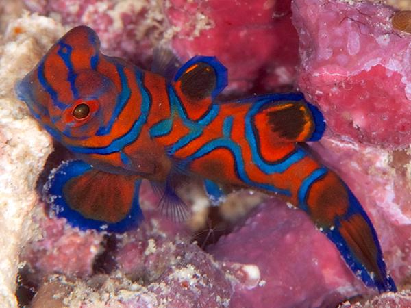マンダリンフィッシュ(ニシキテグリ)の幼魚