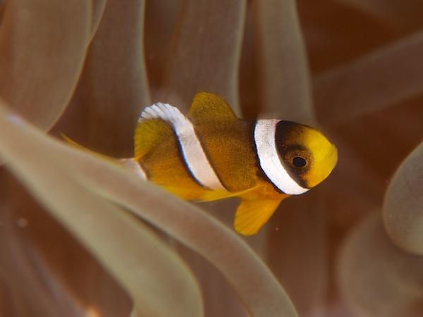 クマノミの幼魚