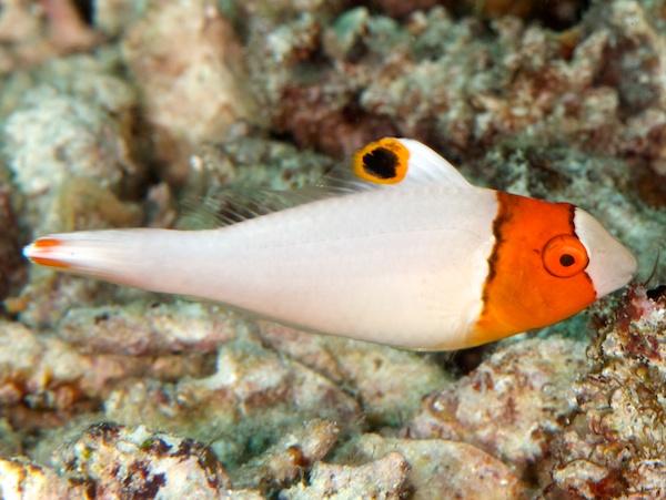 イロブダイの幼魚(成長期)