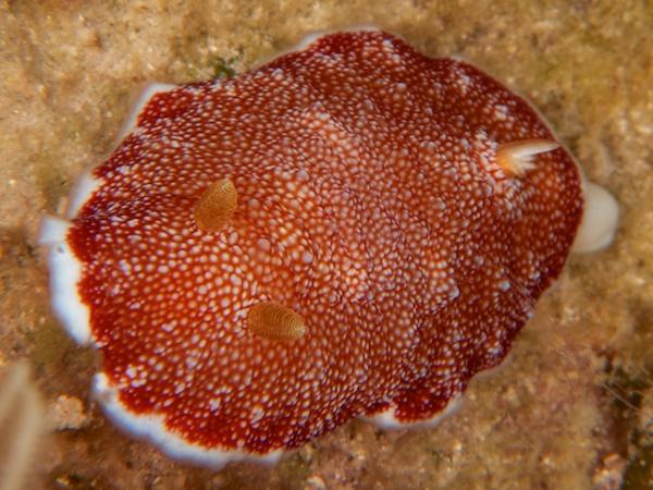 サラサウミウシ1