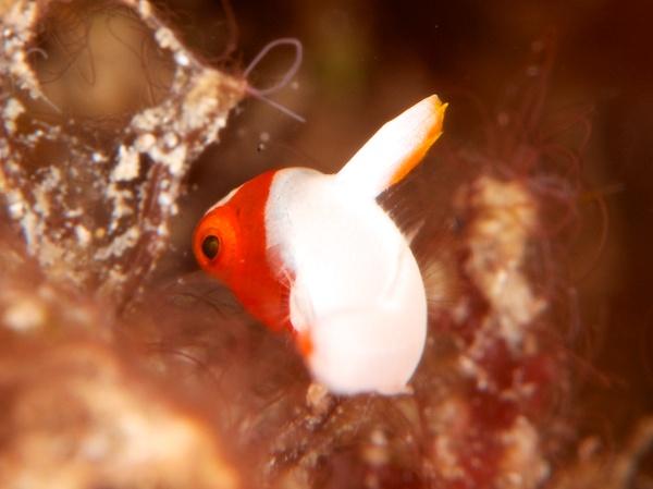 イロブダイの幼魚2