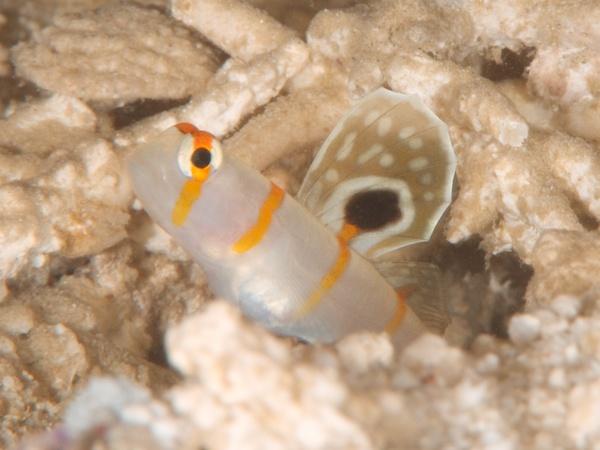 ニチリンダテハゼの若魚
