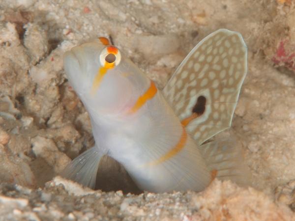ニチリンダテハゼの成魚