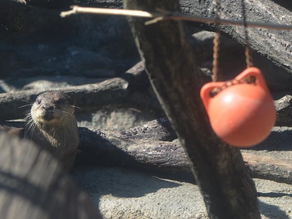 多摩動物園のコツメカワウソ