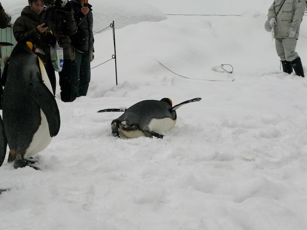 はぐれキングペンギン