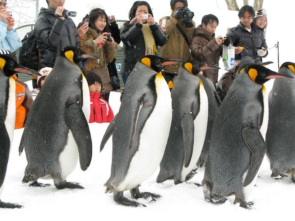 キングペンギンの行進(横)