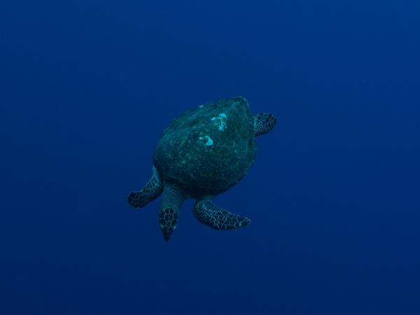 ペリリューのウミガメ
