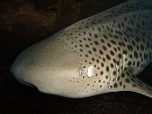 マリンワールド海の中道のトラフザメ