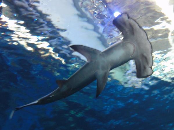 マリンワールド海の中道のアカシュモクザメ