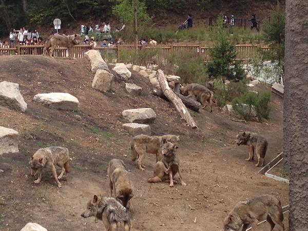 アジアの平原のオオカミ達