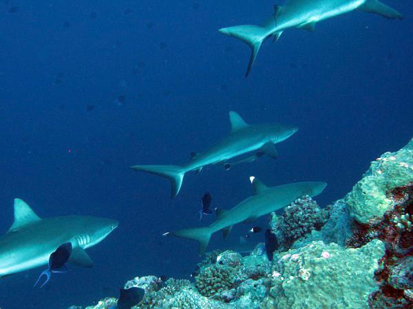 ブルーコーナーのサメ