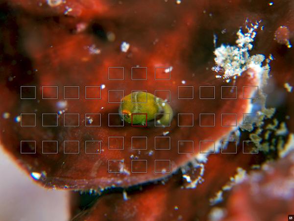 天使のダンゴウオ(緑)とフォーカスポイント表示