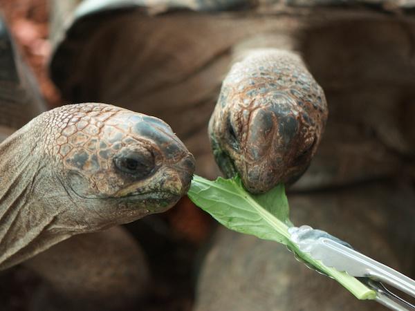 小松菜に食いつくリクガメ