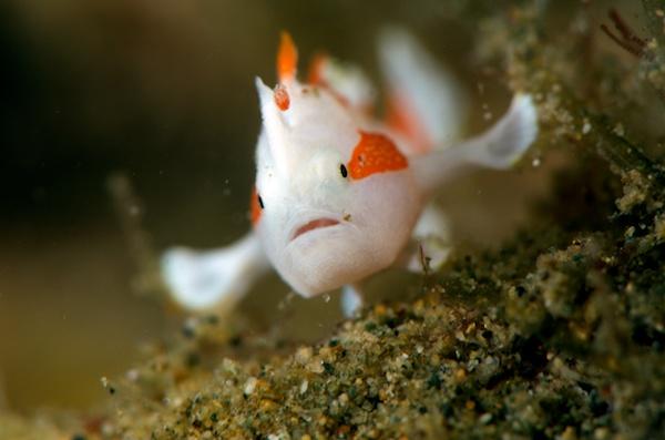 アンボンのクマドリカエルアンコウの幼魚