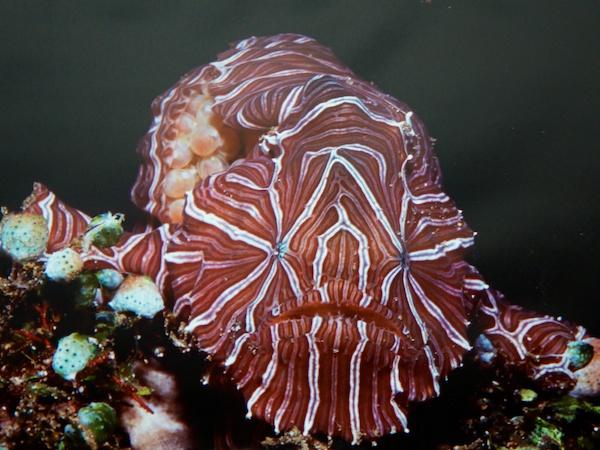 サイケデリカ(マルクカエルアンコウ)。Maluku Diversに飾られていた写真