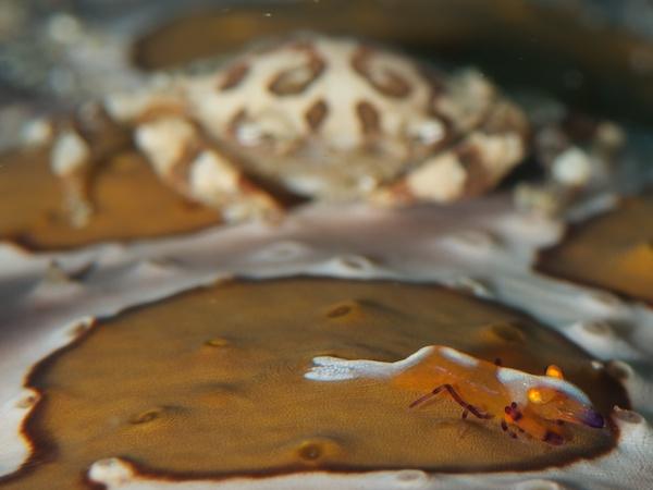 エンペラーシュリンプ(ウミウシカクレエビ)とナマコマルガザミ