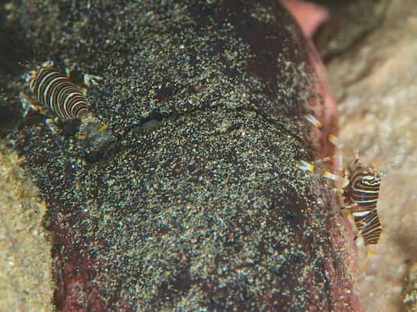 Bumblebee Shrimp(バンブルビーシュリンプ。ヨコシマエビ)