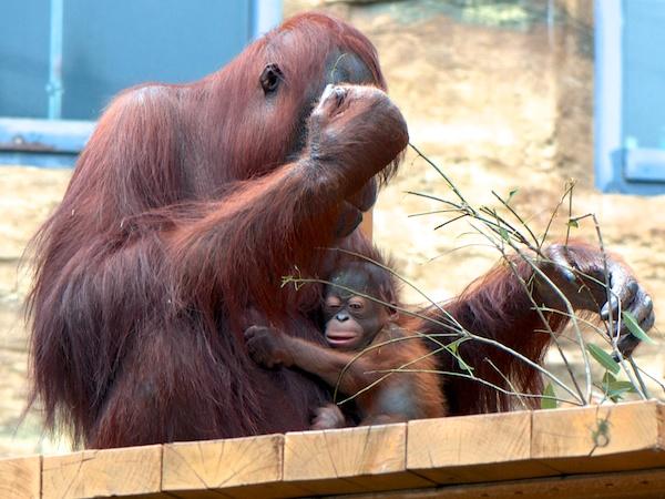 多摩動物公園のオランウータンのチャッピーとアピ