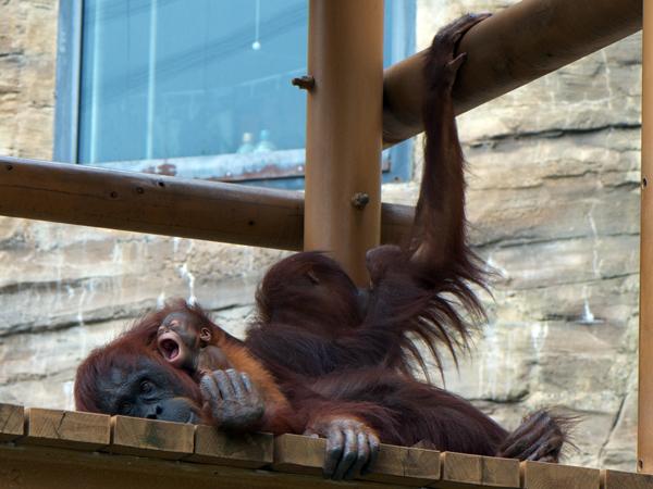 多摩動物公園のオランウータンのチャッピーとミンピーとアピ