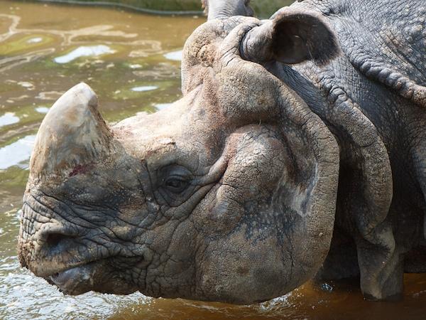多摩動物公園のサイ