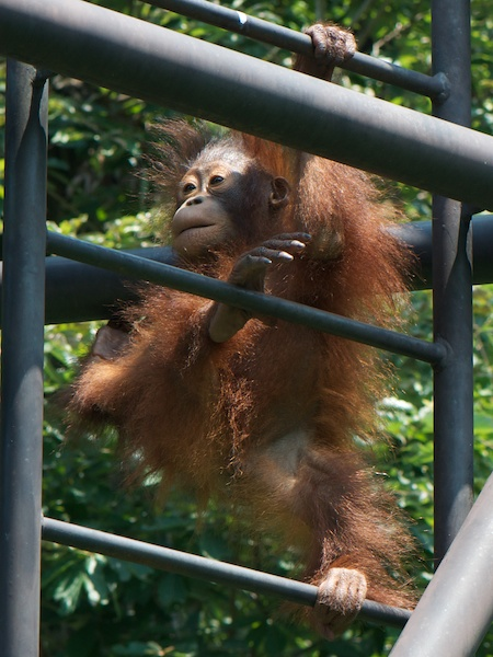 多摩動物公園のオランウータンのリッキー(2歳)