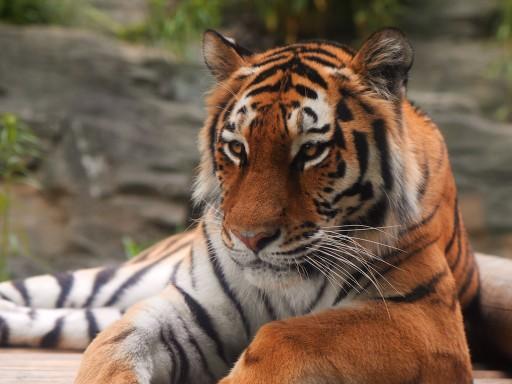 多摩動物公園のアムールトラ