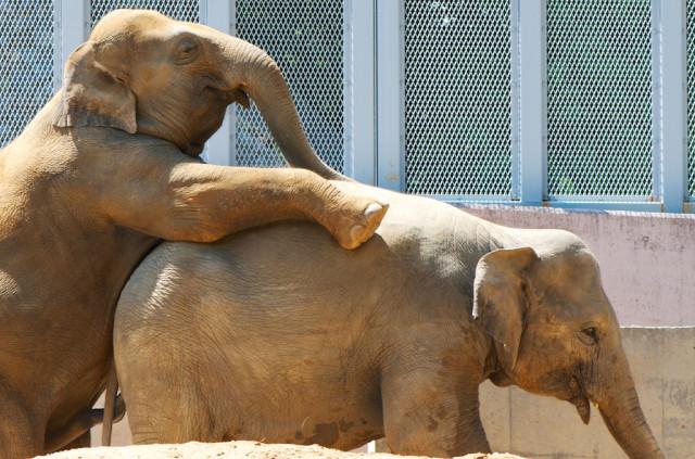 多摩動物公園のアジアゾウ