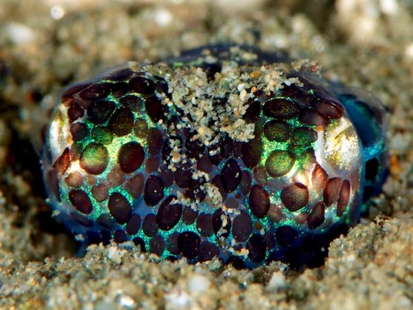 ニヨリミミイカ(ボブテイル・スクイード/Bobtail squid)