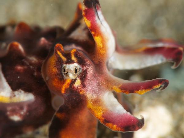 ハナイカ(Paintop Cuttlefish、Flamboyant Cuttlefish)