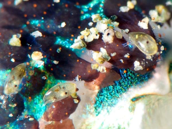 ボブテイル・スクイード(ニヨリミミイカ)の寄生虫