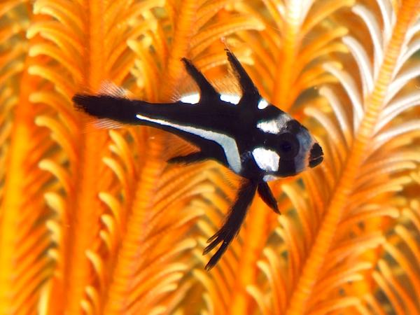 ホホスジタルミの幼魚