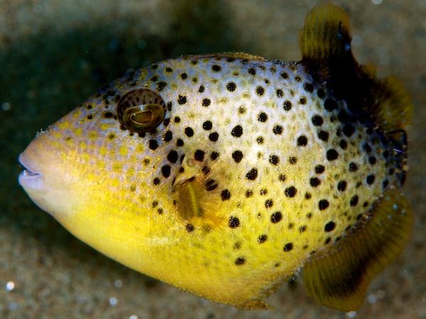 キヘリモンガラの幼魚