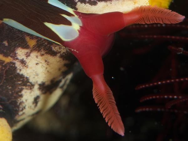 ウミウシの触角のアップ