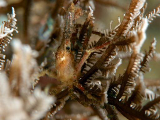 エダツノガニ(Hydroid Crab)