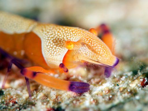 ウミウシカクレエビ(エンペラーシュリンプ/Emperor Shrimp)