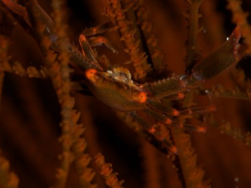 Black Coral Crab ?