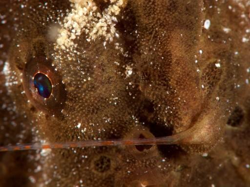 カエルアンコウのエスカの付け根