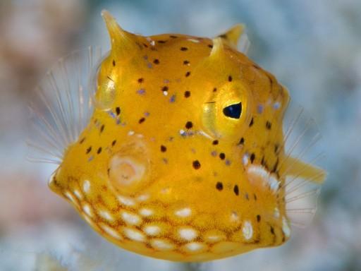 ウミスズメの幼魚