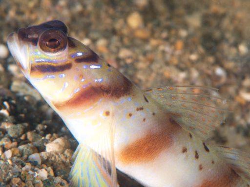 Giant Shrimp Goby(ニュウドウダテハゼ)