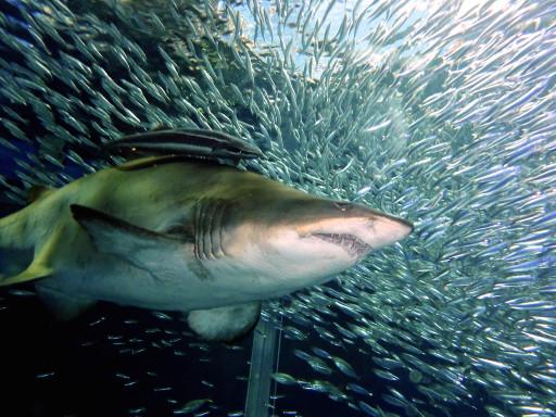 パノラマ大水槽ダイビングのシロワニ、コバンザメ、イワシ