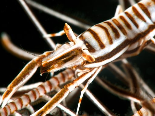 Tiger crinoid shrimp